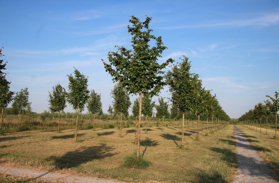 Bomen op een rij in de zon