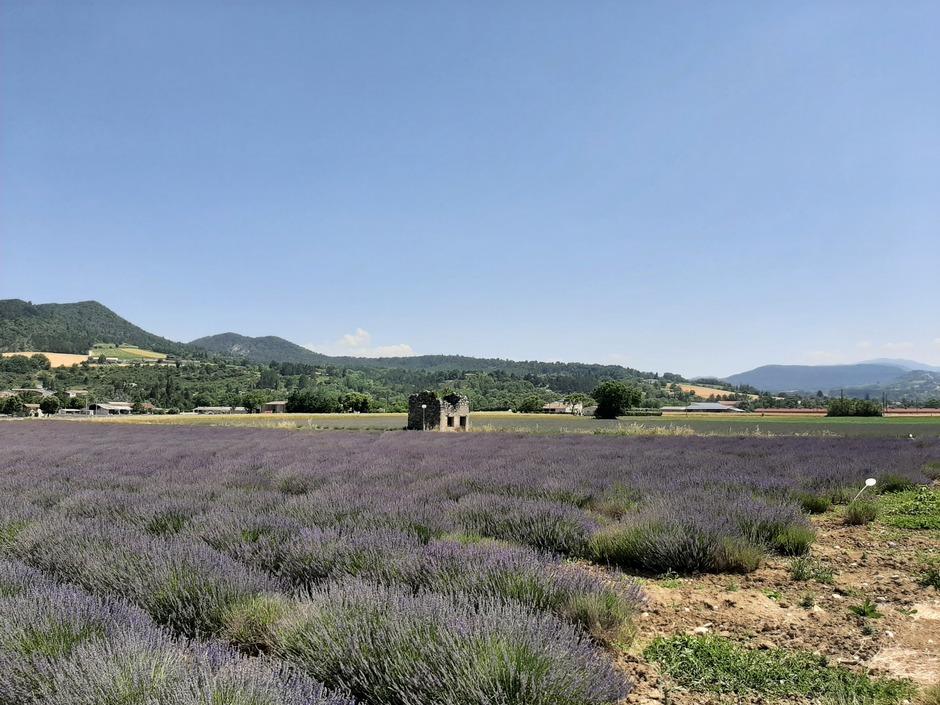 Prachtige lavendelvelden in de Drome, Frankrijk