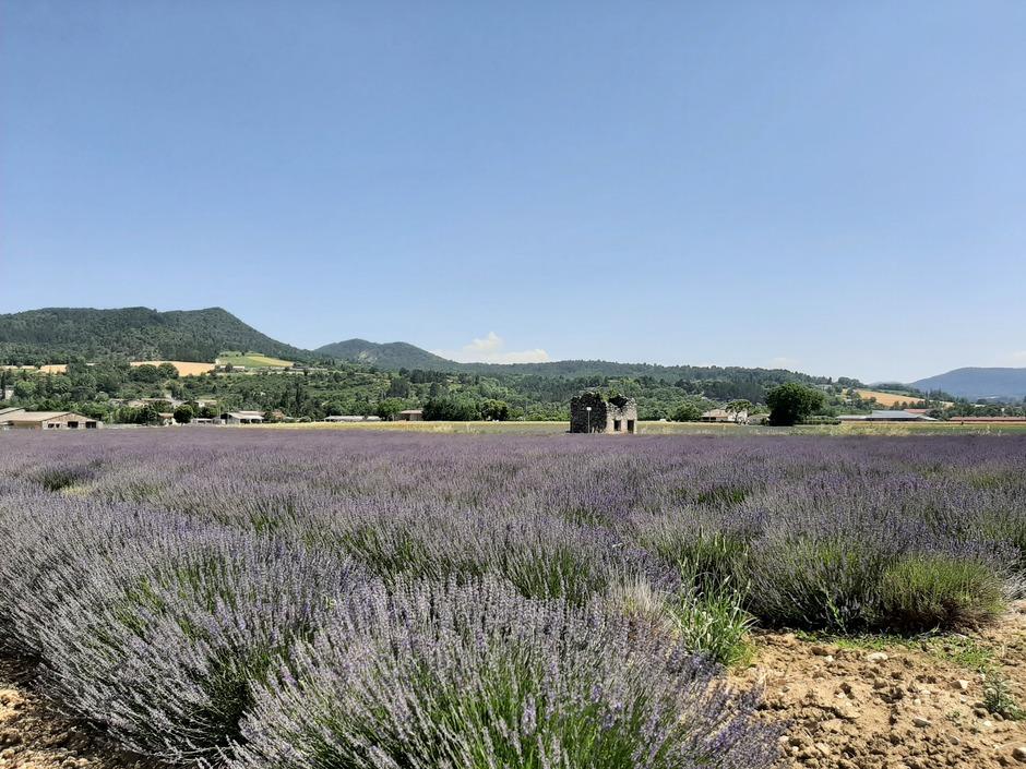 Mooie bloeiende lavendelvelden in Frankrijk