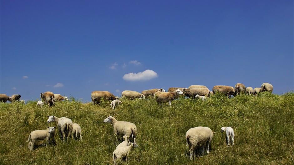zon blauw schapen op de dijk en lammetjes 29 gr