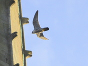 Female Peregrine Norwich Cathedral Last Night