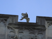 juvenile Peregrine Norwich Cathedral Last Night