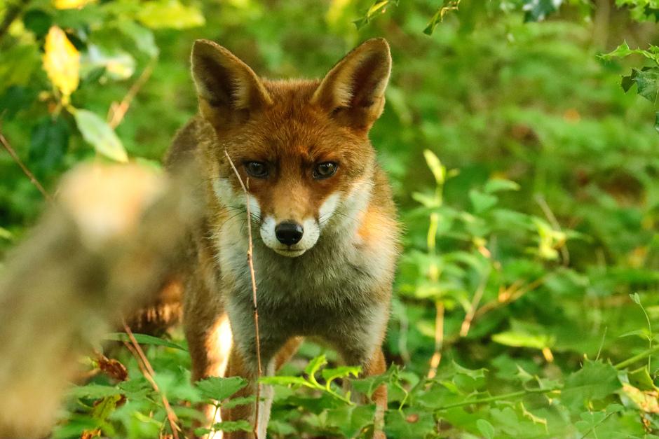 Oog in oog met vos
