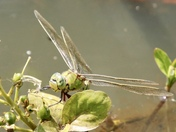 Dragonflies on our pond