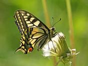 Swallowtail butterfly.