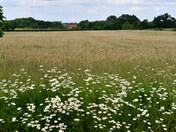 Daisies and Barley field