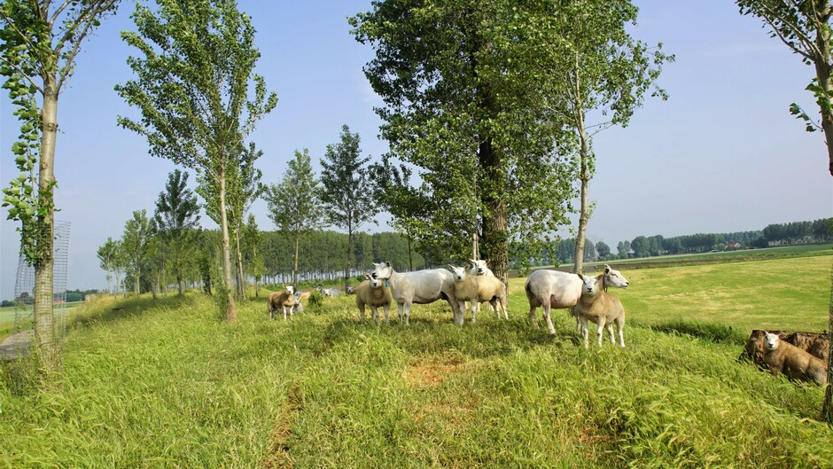 zon blauw sluier bewolking schapen op de dijk onder de bomen met frisse wind 23 gr