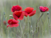 Poppy Field of Norfolk