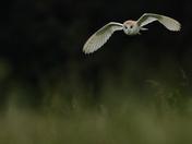 Old Buckenham Barn Owls