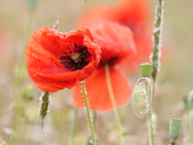 In a poppy field this week end .
