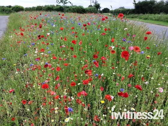 Wildflowers sown earlier this year at Tumblers Green
