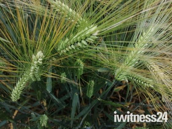 Fields of Barley