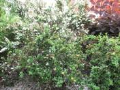 Flowering shrubs in Manor Gardens, Exmouth