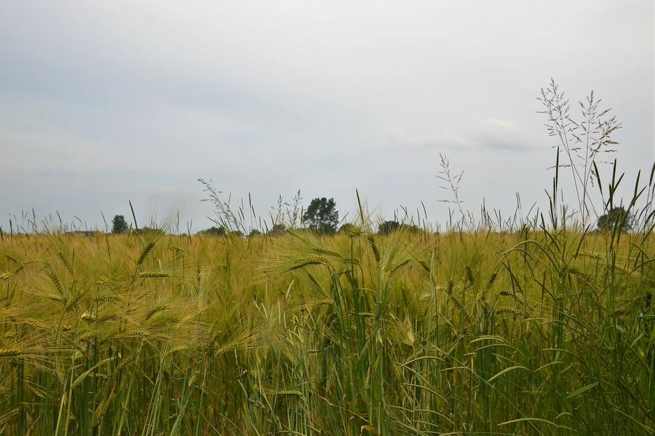 Graanveld