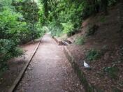 Grey Squirrels along the footpath towards Manor Gardens, beneath Beacon Hill