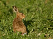 young hares
