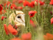 Owl in the poppies.