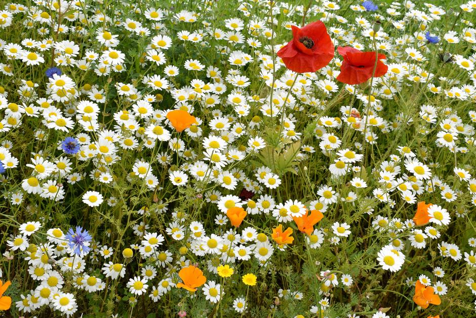 Door de bakken met regen van afgelopen dagen zijn de wilde bloemenvelden ontploft!