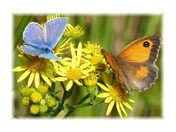 Common blue and gatekeeper butterflies on ragwort