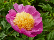 PEONY IN BLOOM AT HOUGHTON HALL
