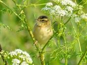 fledgling sedge warbler ; nwt cley marsh.