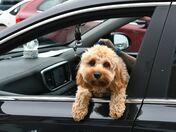Passenger Dog