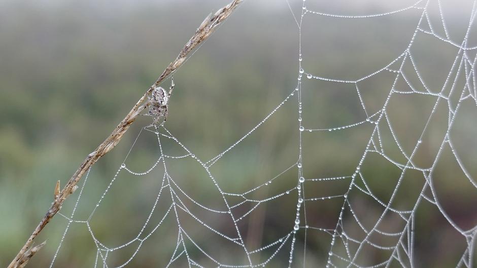 Spinnig webje