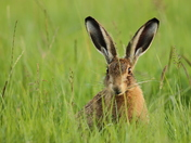 Young Hare enjoying the grasses.