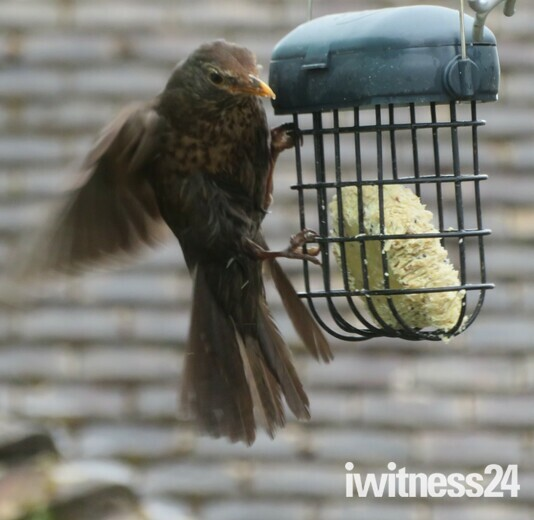 Blackbird chick on a learning curve