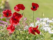 Poppies in Rodmoor Gardens