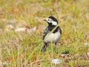 pied wagtail . nwt cley marsh.
