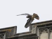 Norwich Peregrine taking a leap