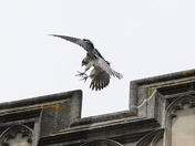 Norwich Peregrine about to land