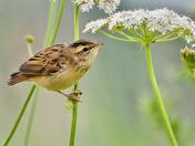 Sedge warbler, juvenile