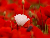 Just one little white poppy in a field of red.