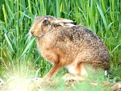 Hare has Wheat for breakfast.