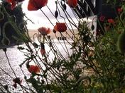 Wild Poppy's