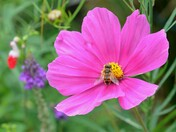 a hoverfly on cosmos   and  one heading towards  the hebe
