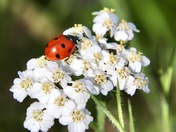 Ladybird and busy bees