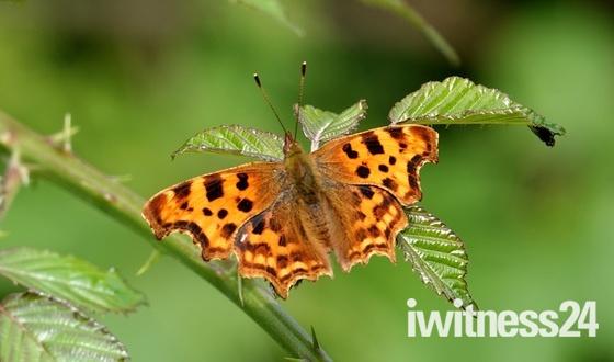 Pretty Comma butterfly.