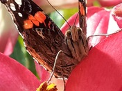 Face to face with a Red Admiral