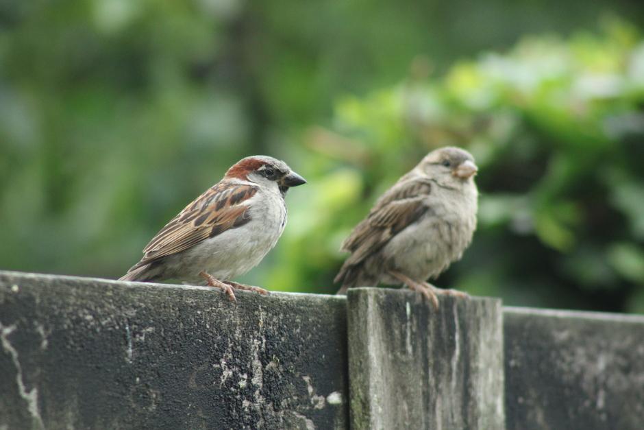 Musjes zitten met z'n tweeën op de schutting, in de regen, te loeren op wat lekkers in het vogelhuisje.
