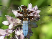 Chaser Dragon fly