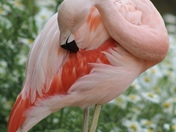 Flamingos at banham zoo