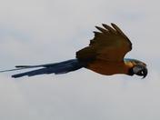 Blue and Gold Macaws At Banham Zoo