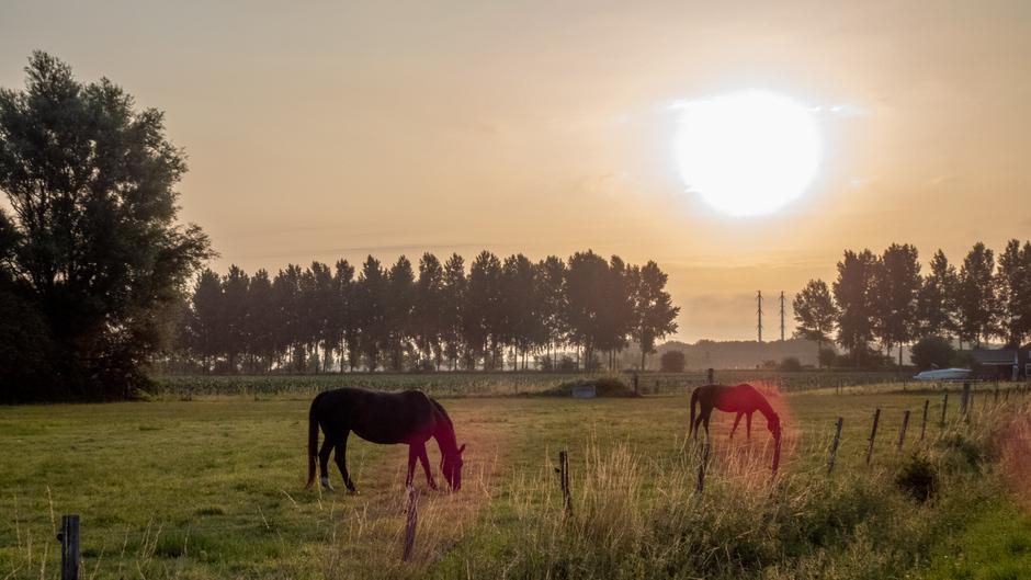 Paarden genieten in de morgenzon
