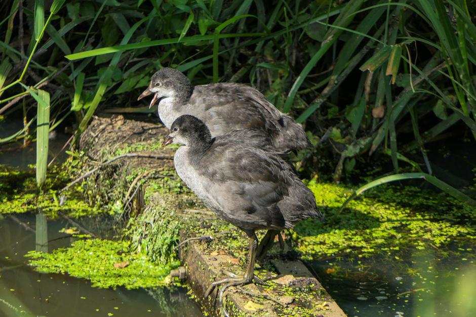 Jonge waterhoentjes