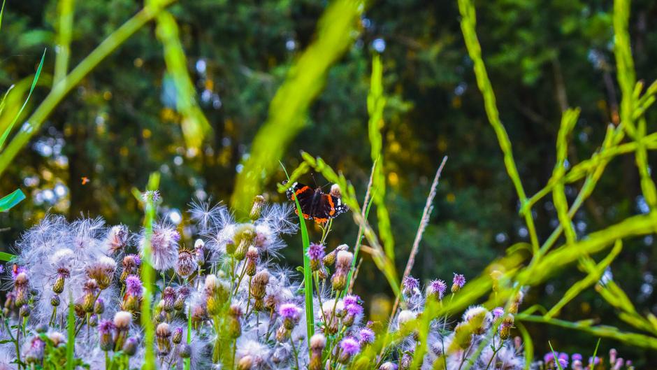 Distelpluizen met vlinder
