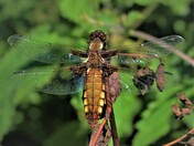 Short tail dragonfly