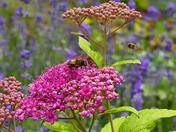 SPIREA AND BEES  IN MY GARDEN AT HEMPTON